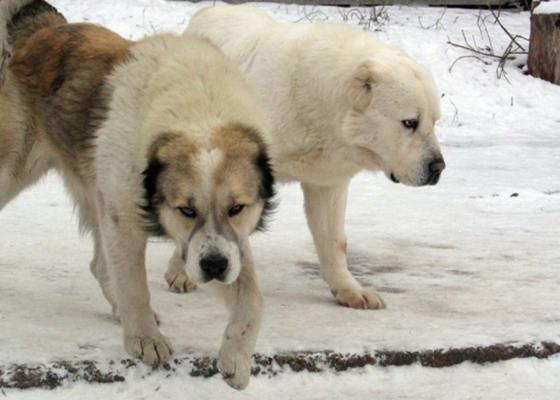 Central Asian Shepherd Dogs or Alabai