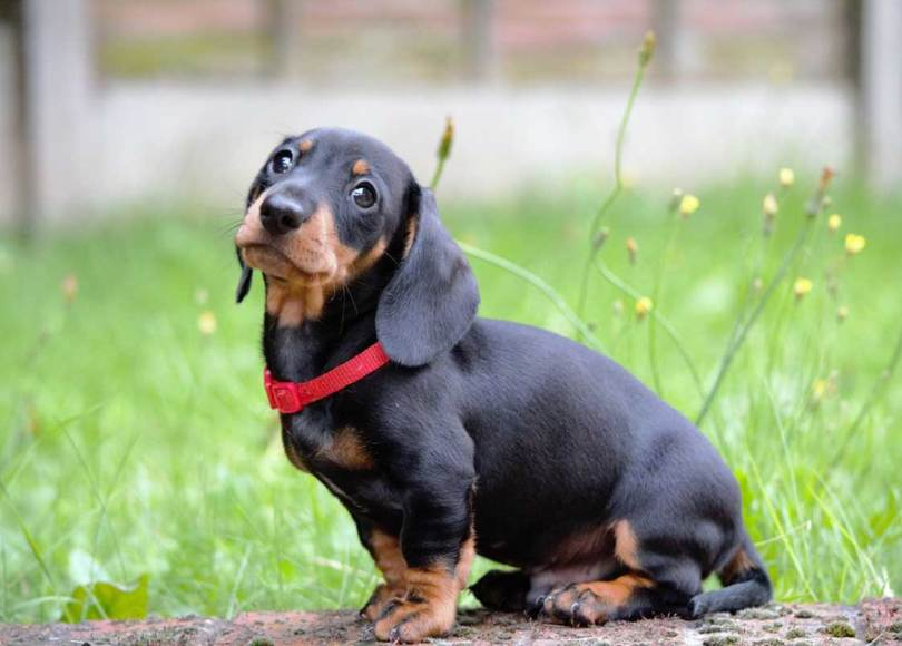 how to feed a dachshund