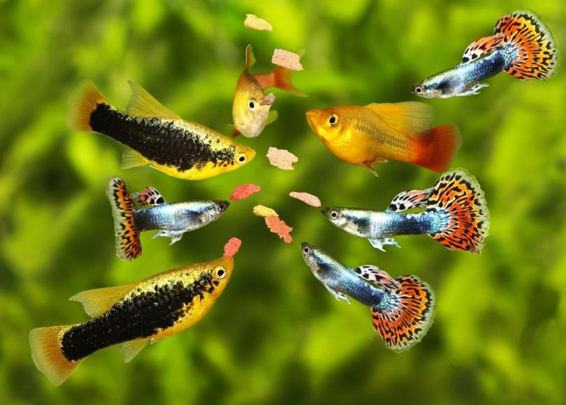 How to prepare food for guppies and omnivorous fish?