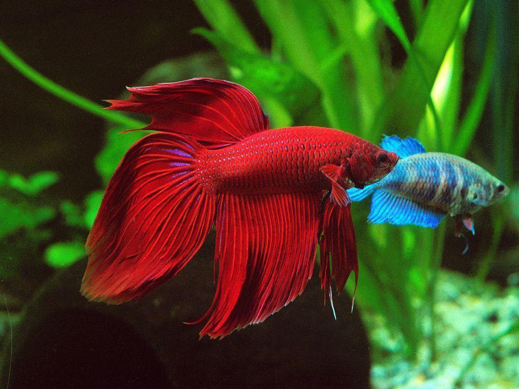 Cockerel Fish in aquarium