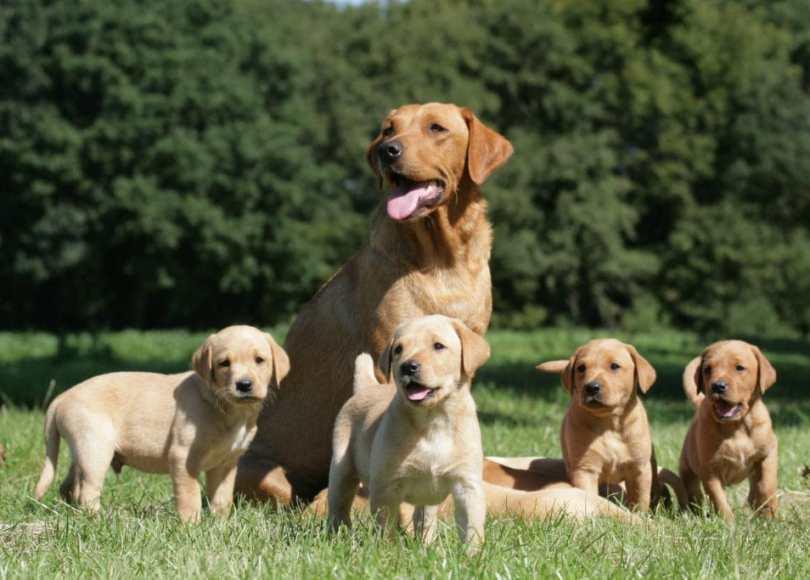 Labrador Feeding guide