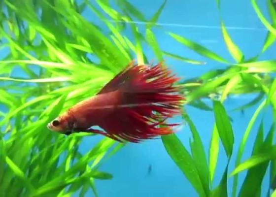 Cockerel Fish