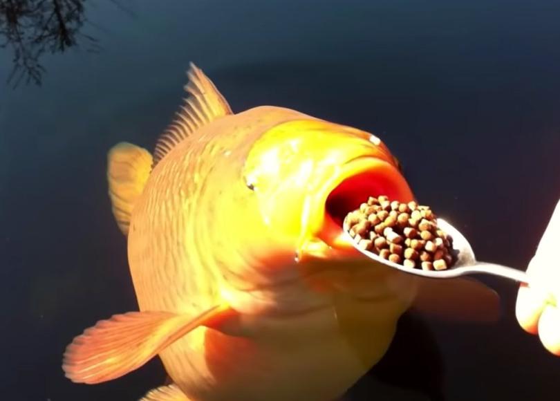 Feeding Koi Carp Fish