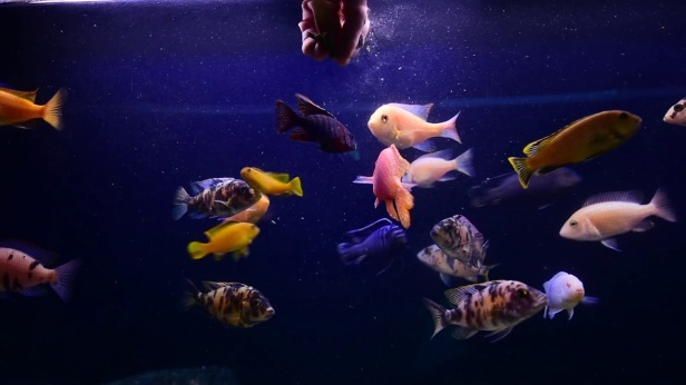 Omnivorous fish