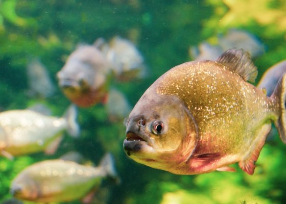 right food for piranha