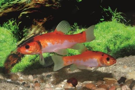 What does golden tench fish eat?