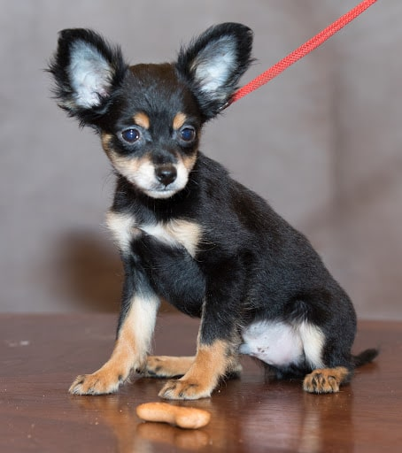 How to feed a toy terrier at home?