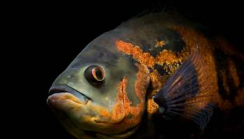 What to feed the astronotus