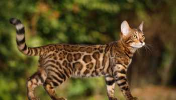 What to feed Bengal cats