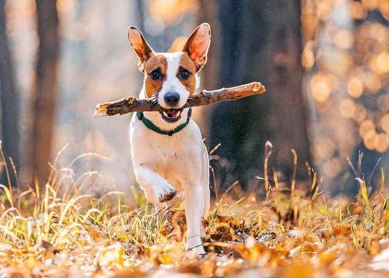 Jack Russell Terrier feeding guide
