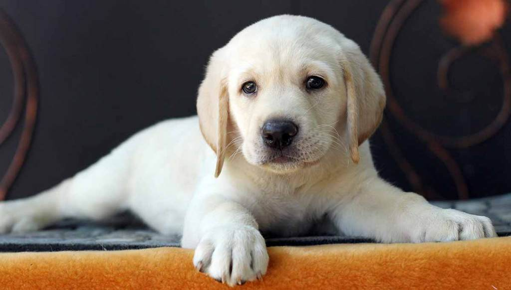 What to feed Labrador puppy