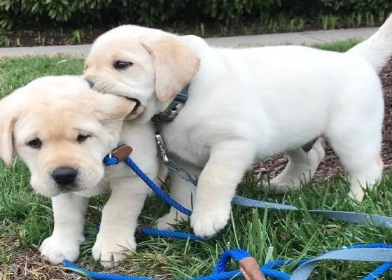 Labrador puppy feeding guide