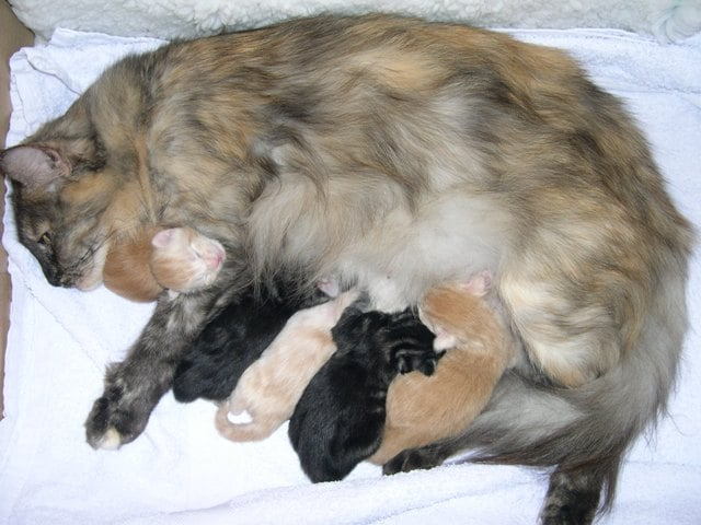 Pregnant Maine Coon cat feeding guide