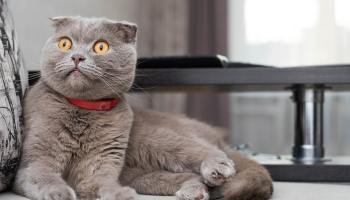 Scottish Fold cat feeding guide