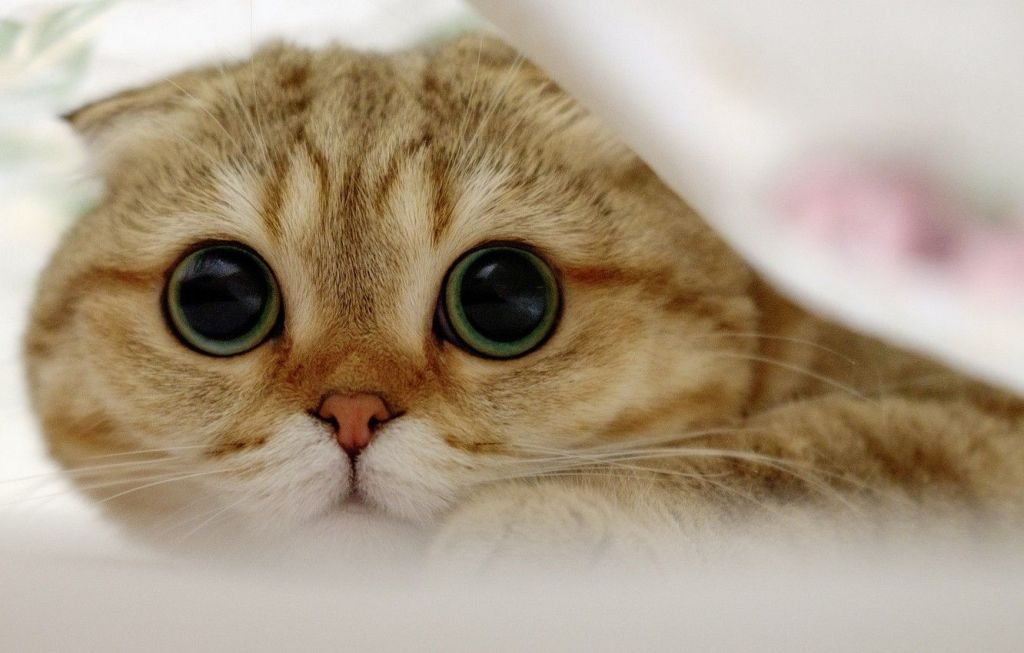 What to feed Scottish Fold cat