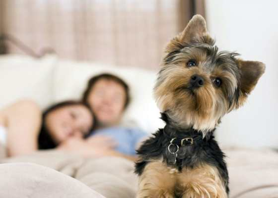 What to do if a Yorkie refuses to eat?